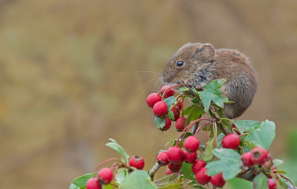 Картинка макро, ягоды, ветка, мышь, грызун, боярышник, рыжая полёвка