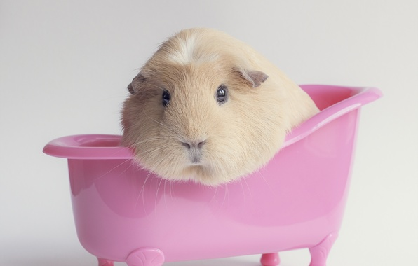 Картинка фон, розовая, ванночка, морская свинка