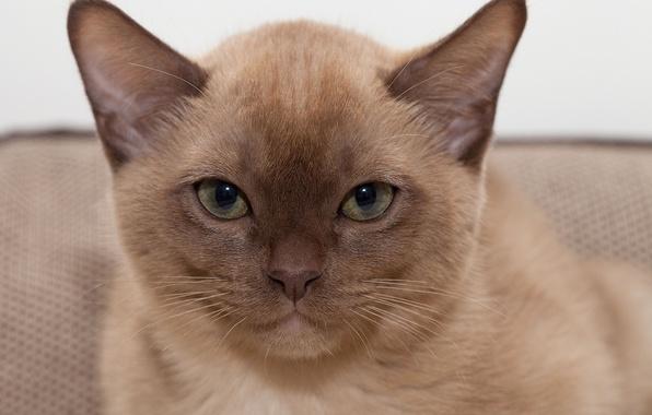 Картинка взгляд, портрет, мордочка, Бурманская кошка