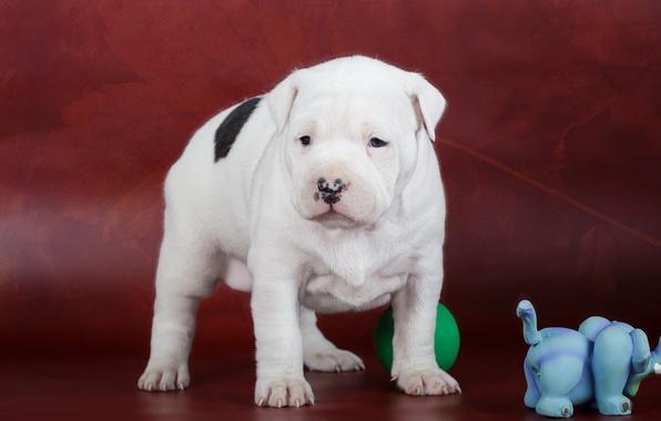 Картинка собака, щенок, амстафф