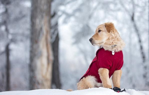 Картинка зима, снег, собака, щенок, Голден ретривер, Золотистый ретривер