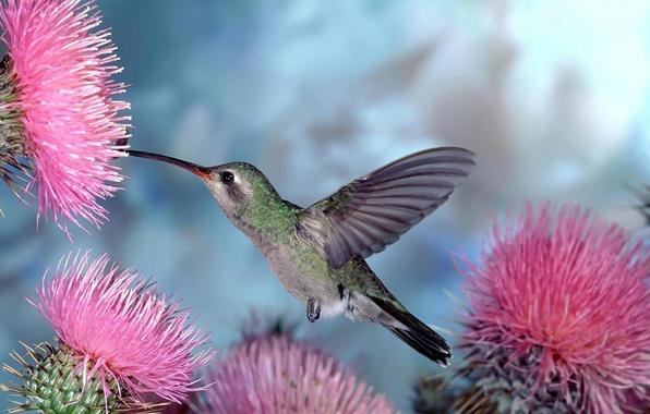 Картинка цветы, птицы, природа, колибри, птичка, голубой фон
