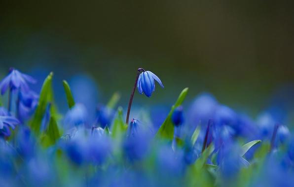 Картинка макро, Цветы, лепестки, размытость, синие, пролески