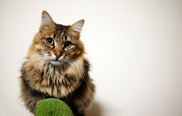Картинка кошка, кот, взгляд, фон, пушистый, сидит