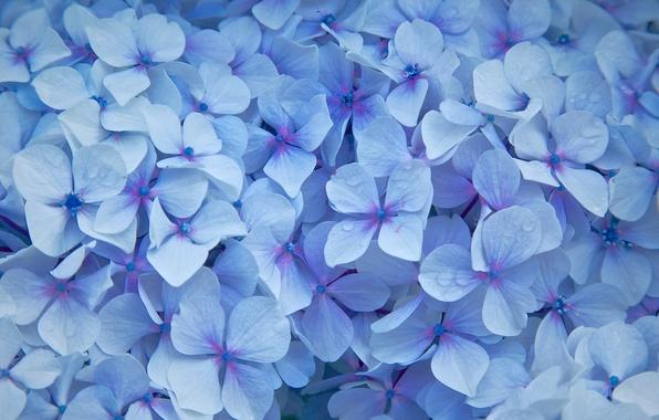 Картинка цветы, капельки, лепестки, голубые, Гортензия