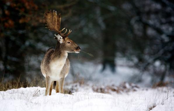 Картинка зима, природа, олень, рога