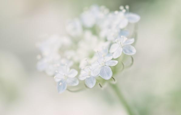 Картинка цветок, макро, цветы, голубой, размытость, нежно, trachymene