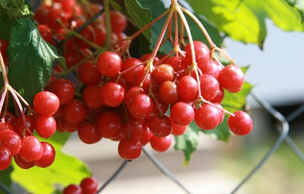 Картинка осень, макро, природа, ягоды, фон, обои, растение, деревня, красная, калина