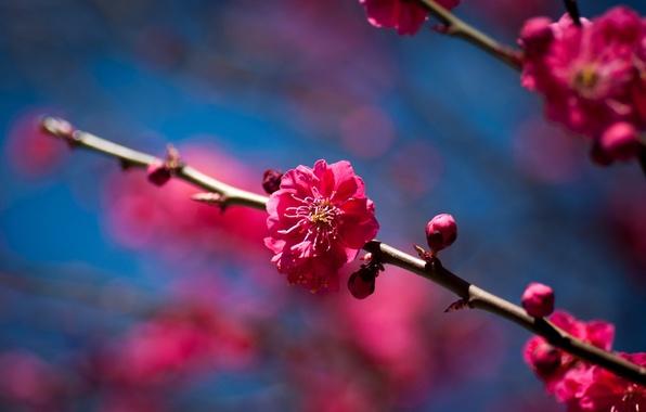 Картинка цветы, вишня, дерево, ветка, весна, солнечно, цветение, фруктовое