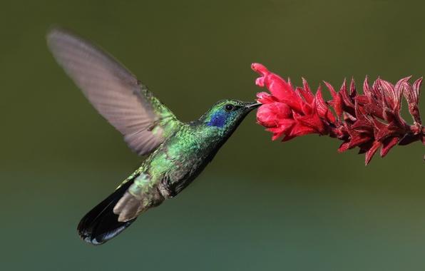 Картинка цветок, макро, птица, колибри, bird, Hummingbird