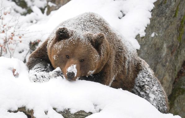 Картинка зима, медведь, гризли