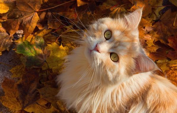Картинка осень, кошка, кот, усы, взгляд, листья, мордочка, пушистая, рыжий кот