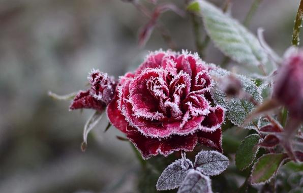 Картинка холод, иней, цветок, снежинки, роза, мороз, кристаллы, красная