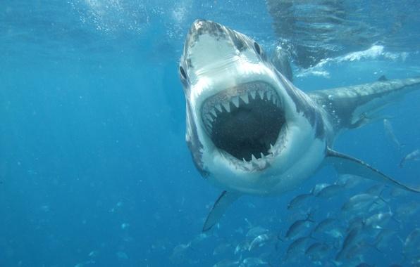 Картинка white, sea, shark, great, jaws