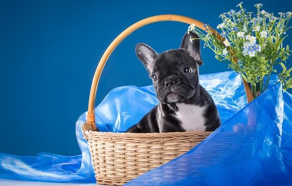 Картинка цветы, корзина, щенок, ткань, незабудки, пёсик, французский бульдог