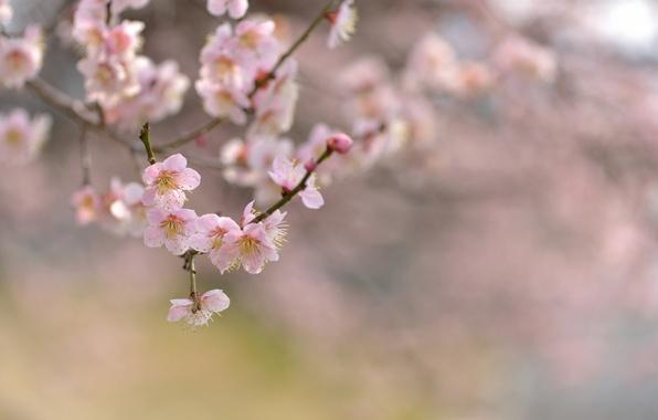Картинка цветы, природа, вишня, дерево, фокус, ветка, весна, цветение