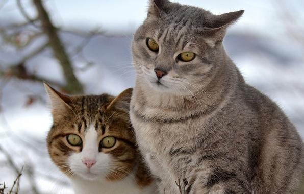 Картинка снег, кошки, коты, прогулка, двое