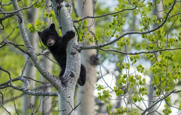 Картинка дерево, медведь, медвежонок, на дереве