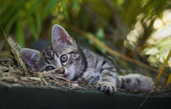 Картинка котенок, серый, отдых, малыш