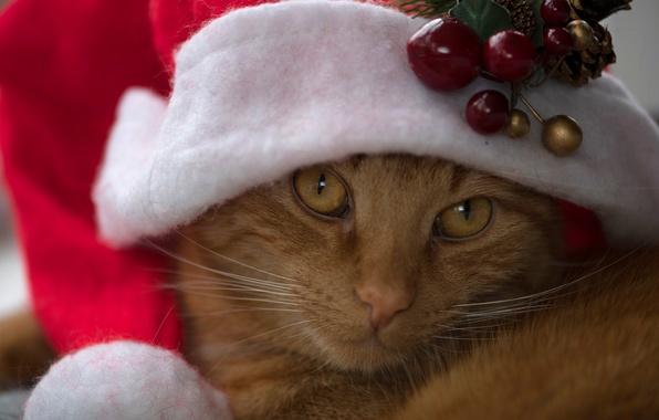 Картинка кот, взгляд, рыжий, мордочка, колпак, рыжий кот