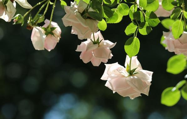 Картинка нежность, розы, боке