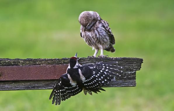 Картинка птицы, природа, фон, сова, дятел, доска, Сыч