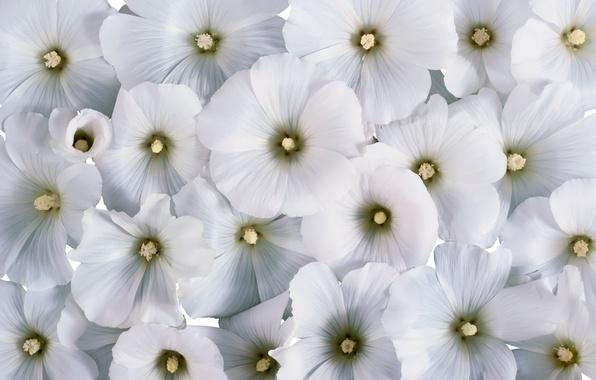 Картинка цветы, фон, белые цветы, лаватера