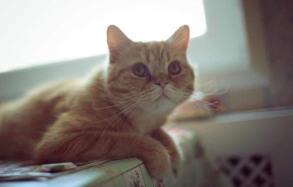 Картинка глаза, кот, усы, взгляд, рыжий, уши, ушки, смотрит