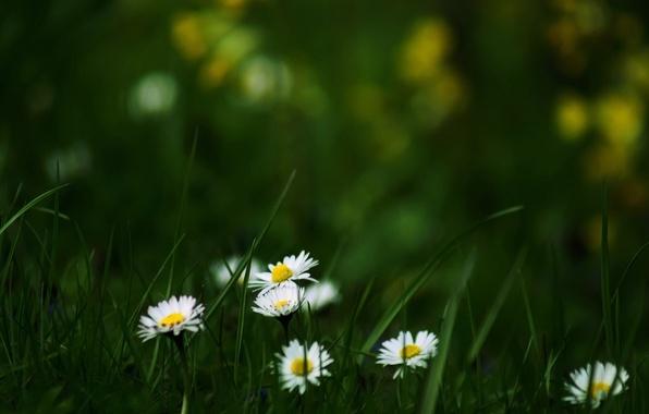 Картинка лето, трава, цветы, природа, обои, поляна, ромашки, цветение, wallpapers