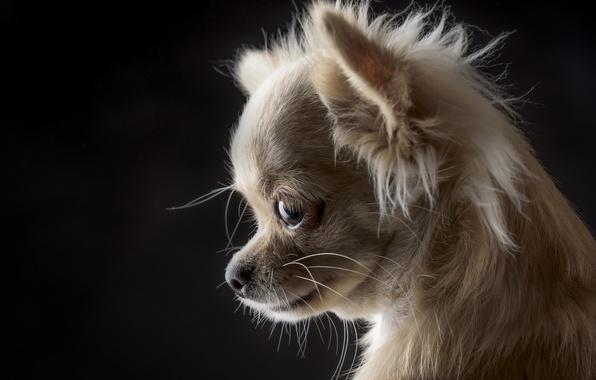 Картинка портрет, собака, мордочка, чёрный фон, чихуахуа