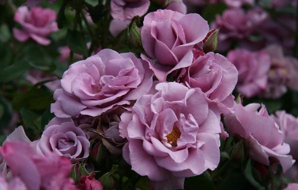 Картинка цветы, природа, куст, розы, растения, лепестки, сад, розовые, бутоны