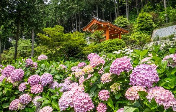 Картинка деревья, цветы, Япония, храм, Japan, беседка, Kyoto, Киото, гортензии, Mimuroto-ji Temple