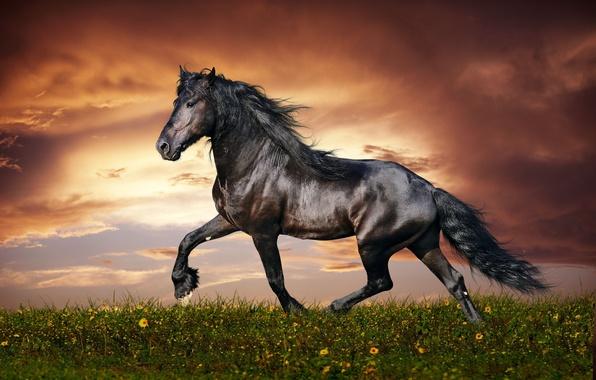 Картинка flower, sky, field, nature, sunset, clouds, mane, hana, muscular, Horse, kumo, beautiful animal, thoroughbred, trot, …