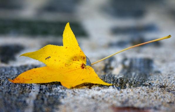 Картинка желтый, лист, фон, размытость, осенний, кленовый
