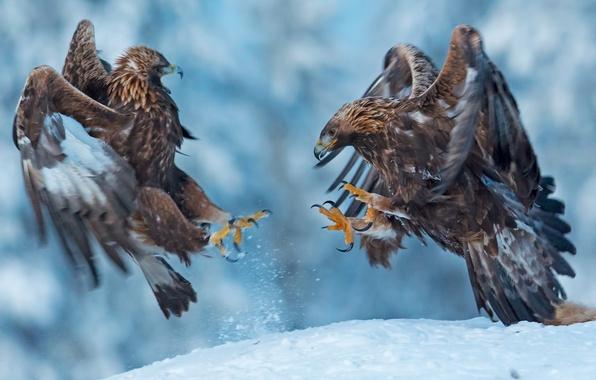 Картинка снег, птицы, беркут, спаринг