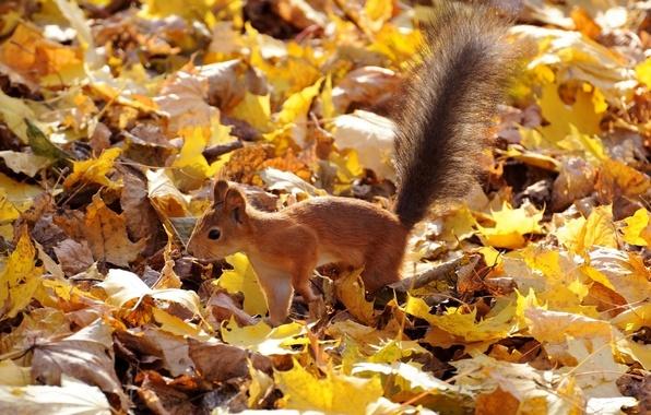 Картинка осень, листья, белка, рыжая, пушистый хвост