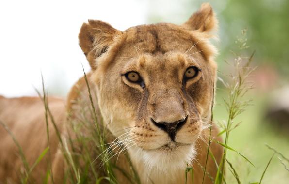 Картинка животные, хищник, лев, львица, animals, lion, predator