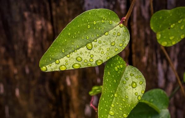 Картинка листья, вода, капли, макро, зеленый, роса, фон, дерево, widescreen, обои, wallpaper, листочек, широкоформатные, листики, background, …