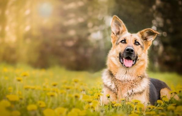 Картинка цветы, собака, одуванчики, немецкая овчарка, овчарка