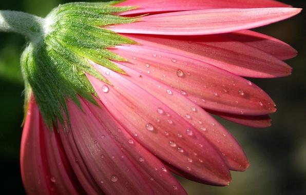 Картинка цветок, капли, макро, роса, розовый, лепестки