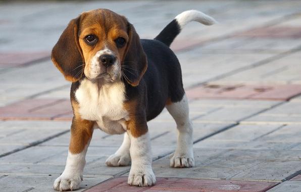 Картинка друг, собака, бигль
