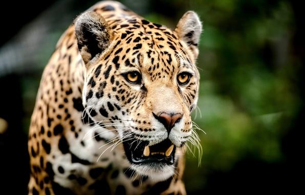 Картинка взгляд, морда, хищник, леопард, оскал, большая кошка