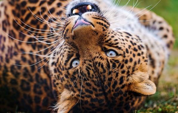Картинка усы, взгляд, морда, леопард, оскал, играет, leopard