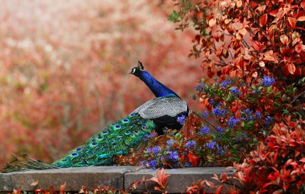 Картинка цветы, птица, хвост, павлин, боке