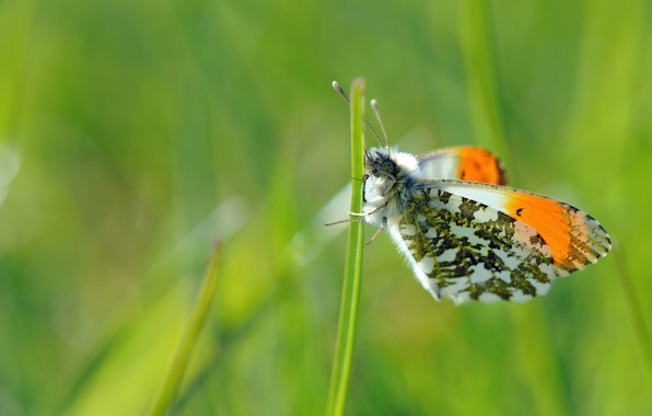 Картинка зелень, макро, бабочка, фокус, насекомое, травинка