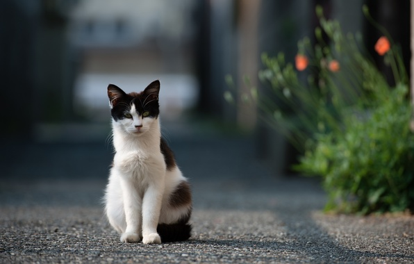 Картинка дорога, кошка, кот, асфальт, цветы, улица