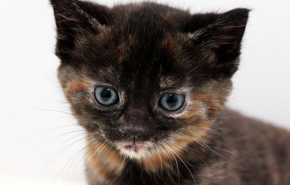 Картинка котенок, портрет, голубоглазый, трехцветный