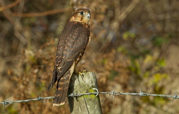 Картинка взгляд, птица, проволока, профиль, деревянный, столбик, Кречет