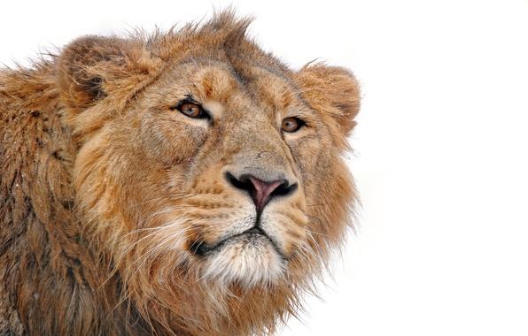 Картинка усы, морда, хищник, лев, грива, смотрит, на белом фоне, lion, молодой, panthera leo