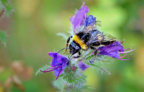 Картинка цветок, природа, пчела, растение, лепестки, насекомое, шмель